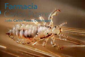 Piojo (Pediculus humanus capitis)